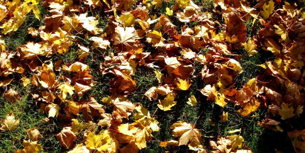 leafs iscorama 36